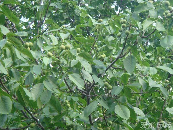 硕果累累的核桃树