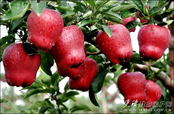一棵棵翠绿的苹果树在