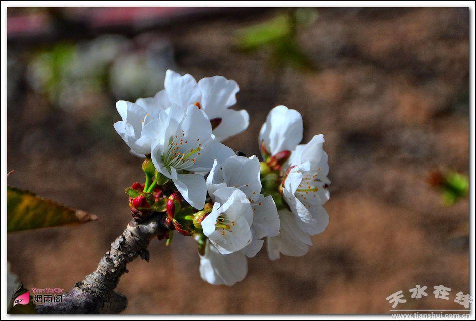 在春天里——天水在线走进秦州大樱桃花盛开的地方(图)