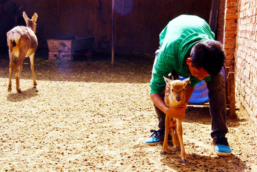 金虎/▲时金虎的孩子在给一只刚出生3天的小鹿检查身体...
