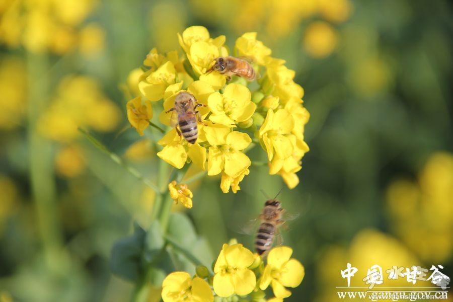 (花丛中,小蜜蜂们呼朋引伴,竞相忙碌着)图片