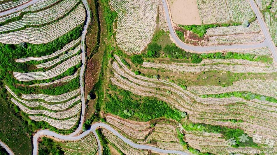 晋州航拍在线秦州区华岐镇油用甲基种植牡丹(天水羧基地纤维素图片