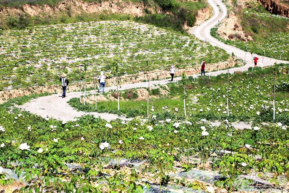 天水航拍在线秦州区华岐镇油用摆件种植牡丹(基地铸铁铁艺图片
