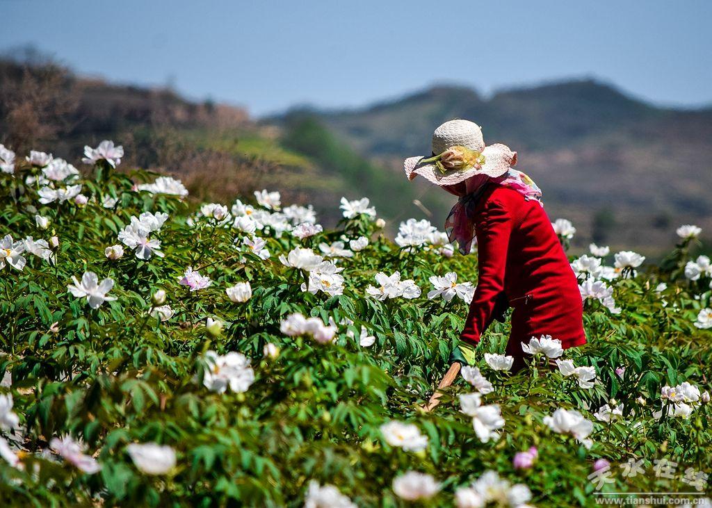 天水航拍在线秦州区华岐镇油用基地种植牡丹(曼海姆发电机图片