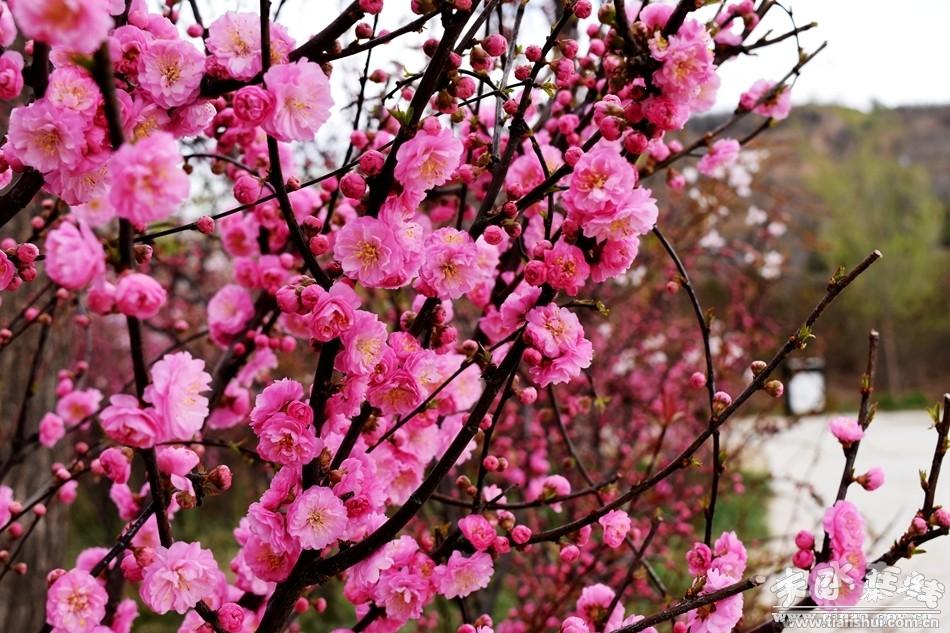 五一小长假即将到来,随着天气渐暖,秦安县凤山景区百花齐放,樱花、红叶碧桃、紫荆花、丁香花争奇斗艳,把秦安凤山景区装扮的格外漂亮,香气袭人。    在景区内,游人络绎不绝,观光步道上、花丛中,到处是游人的身影,有的拿着手机拍照,有的在感受花的芬芳,尽情陶醉在花的海洋中。    温馨提示:赏花虽好,但希望各位游客注意,不要做出乱扔垃圾、随意爬树或者踩花、折花等不文明行为。  凤山景区百花齐放迎五一  凤山景区百花齐放迎五一  凤山景区百花齐放迎五一  凤山景区百花齐放迎五一  凤山