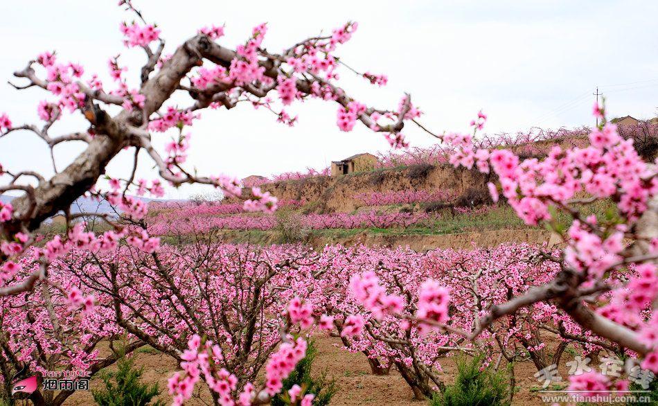【微文展播】天水:春天十里桃花,夏秋瓜果飘香——安俊维(图)